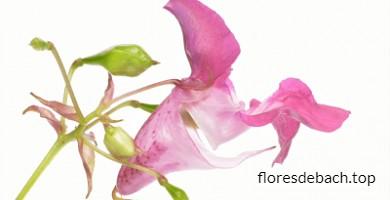 Comprar la Flor de Bach Impaciencia - Impatiens