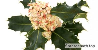 Comprar Flores de Bach Holly - Acebo online