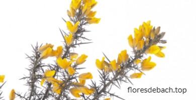 Comprar Flores de Bach Gorse - Aulaga online