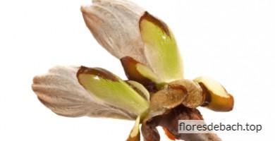 Comprar flor de Bach Brote de Castaño - Chestnut bud