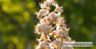 Comprar flor de Bach Castaño Blanco - White Chestnut