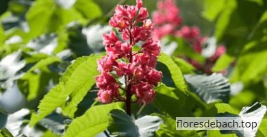 Comprar flor de Bach Castaño Rojo - Red Chestnut