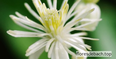 Comprar flores de Bach Clematis online
