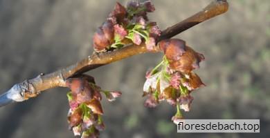Comprar Flores de Bach Elm online