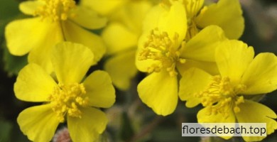 Comprar flor de Bach Heliantemo o Rock Rose