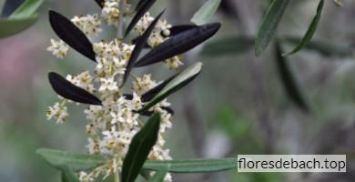 Comprar flores de Bach Olive o Olivo online