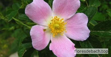 Comprar flor de Bach Rosa Silvestre - Wild rose