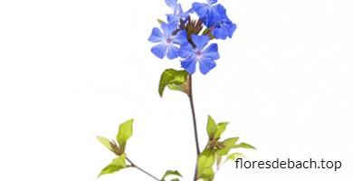Comprar Flores de Bach Cerato online